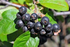 Fekete törpeberkenye (Aronia melanocarpa)