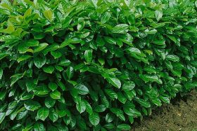 Babérmeggy - Prunus laurocerasus