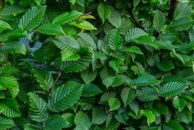 Gyertyán - Carpinus betulus